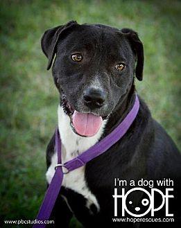 Boxer/Labrador Retriever Mix Dog for adoption in Godfrey, Illinois - Palmer
