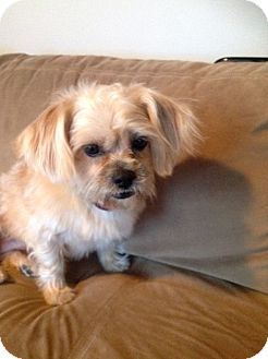 Lhasa Apso Mix Dog for adoption in Chicago, Illinois - Barbara