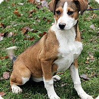 Adopt A Pet :: Sybill - Brattleboro, VT