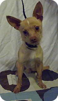 Chihuahua Mix Dog for adoption in Vancouver, Washington - Noggin