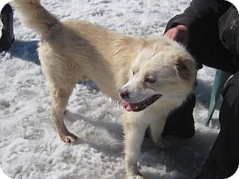 Great Pyrenees Mix Dog for adoption in Flint, Michigan - Jameson