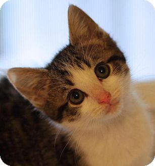 Domestic Shorthair Kitten for adoption in Winston-Salem, North Carolina - Bailey