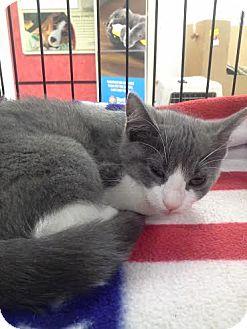 Domestic Shorthair Kitten for adoption in Columbus, Ohio - Peaches
