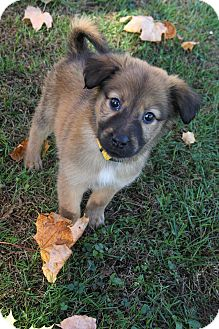 Collie Mix Puppy for adoption in New Oxford, Pennsylvania - Leilani
