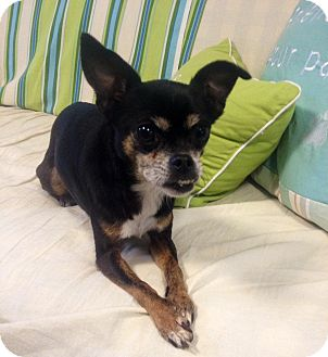 Chihuahua Dog for adoption in Fennville, Michigan - Mariah