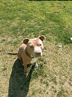 American Staffordshire Terrier Dog for adoption in Porter Ranch, California - Bella Courtesy Post