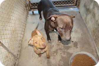 Pit Bull Terrier Mix Dog for adoption in Henderson, North Carolina - Chyna & Melo her puppy*