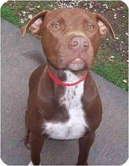 American Staffordshire Terrier/Labrador Retriever Mix Dog for adoption in Lavon, Texas - Hank