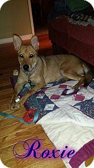 Carolina Dog Mix Dog for adoption in Cranston, Rhode Island - Roxy (fostered in PA)