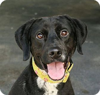 Labrador Retriever/Pointer Mix Dog for adoption in Cincinnati, Ohio - Gatsby