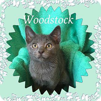 Domestic Shorthair Kitten for adoption in Covington, Kentucky - Woodstock