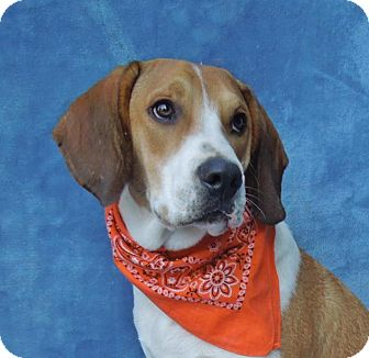 Beagle/Hound (Unknown Type) Mix Puppy for adoption in Charlotte, North Carolina - Poncho