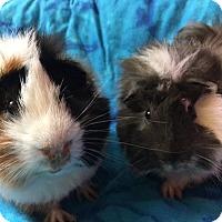 Adopt A Pet :: Bandit - Highland, IN