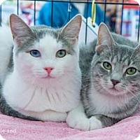 Adopt A Pet :: Gizmo - Merrifield, VA