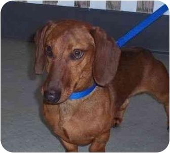 Dachshund Dog for adoption in Virginia Beach, Virginia - Oscar Mayer