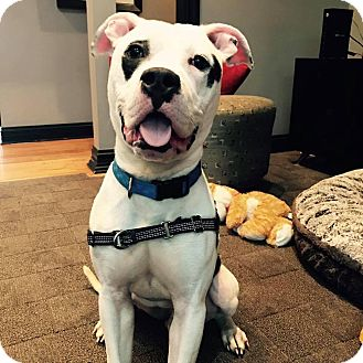 American Pit Bull Terrier/American Staffordshire Terrier Mix Dog for adoption in Wheaton, Illinois - Slim Jim