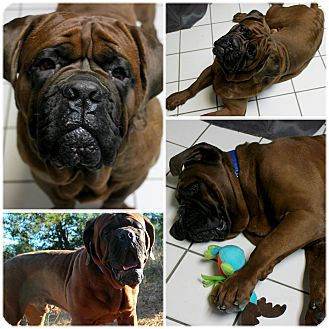 Mastiff Dog for adoption in Forked River, New Jersey - Angus