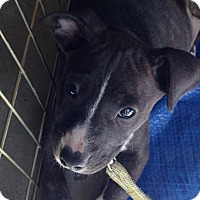 Adopt A Pet :: Holly - Meridian, ID