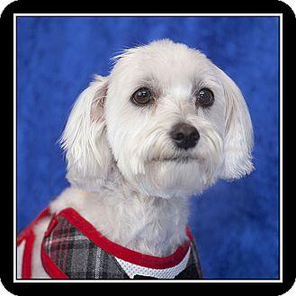 Maltese Mix Dog for adoption in San Diego, California - Sadie