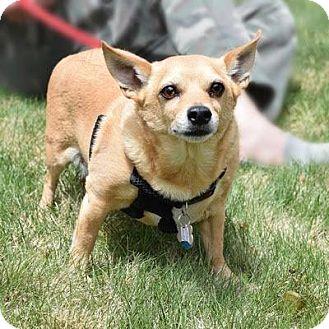 Chihuahua Mix Dog for adoption in Denver, Colorado - Al