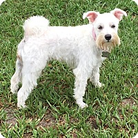 Adopt A Pet :: Scarlett O'Roo (Roo Bear - Crystal River, FL