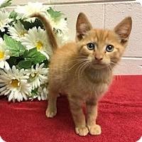 Adopt A Pet :: Pumpkin - Salem, WV