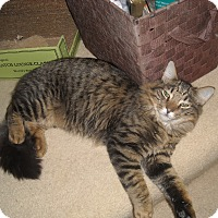 Maine Coon Cat for adoption in Arlington, Virginia - Cutty