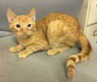 Domestic Shorthair/Domestic Shorthair Mix Cat for adoption in Livingston, Texas - Manny