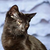 Adopt A Pet :: Herbert - Chicago, IL