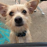 Adopt A Pet :: Teddy Bear - Dallas, TX