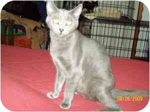 Russian Blue Cat for adoption in Oak Lawn, Illinois - Chyna