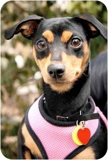Manchester Terrier Dog for adoption in Long Beach, New York - Roxy