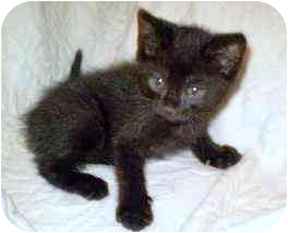 American Shorthair Kitten for adoption in Alexandria, Virginia - Brilliant, Marquis, and Emeral