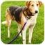 Photo 1 - Beagle Mix Dog for adoption in Osseo, Minnesota - Bosco