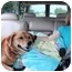 Photo 2 - Labrador Retriever/Shepherd (Unknown Type) Mix Dog for adoption in Lake Odessa, Michigan - Maisey