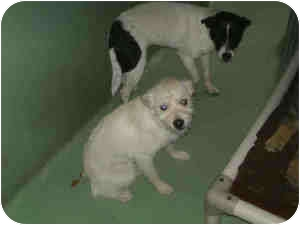 Westie, West Highland White Terrier/Cairn Terrier Mix Puppy for adoption in Las Vegas, Nevada - RAVEN