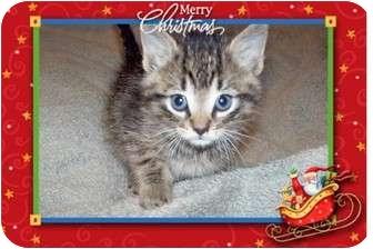 Abyssinian Kitten for adoption in Taylor Mill, Kentucky - Nicholas