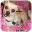 Photo 1 - Chihuahua/Dachshund Mix Dog for adoption in West Palm Beach, Florida - CHRISTMAS CAROL