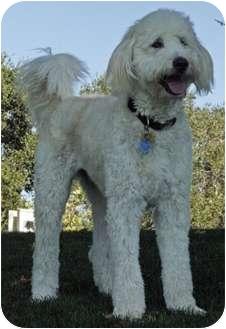 Australian Shepherd/Poodle (Miniature) Mix Dog for adoption in Goleta, California - Nawton