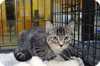Domestic Shorthair Kitten for adoption in Elyria, Ohio - Chip