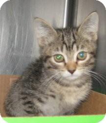 Domestic Shorthair Kitten for adoption in Stillwater, Oklahoma - Peregrine