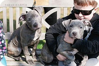 American Pit Bull Terrier Mix Puppy for adoption in Reisterstown, Maryland - Blue Female Puppies