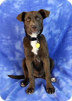 Retriever (Unknown Type) Mix Puppy for adoption in Westminster, Colorado - Lilac