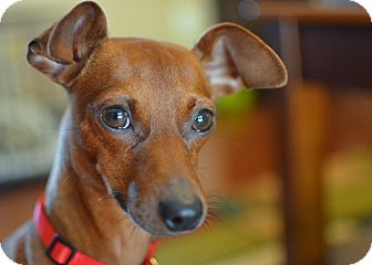Miniature Pinscher Dog for adoption in Nashville, Tennessee - Lenny
