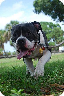 English Bulldog/American Staffordshire Terrier Mix Dog for adoption in Lake Worth, Florida - Truman