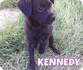 Terrier (Unknown Type, Small) Mix Puppy for adoption in Phoenix, Arizona - Kennedy