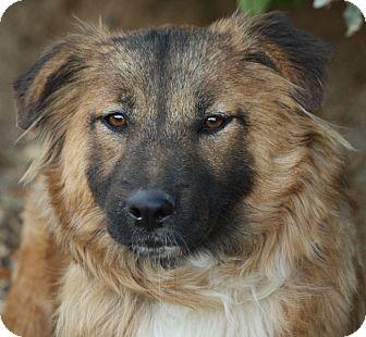 German Shepherd Dog/Retriever (Unknown Type) Mix Puppy for adoption in Los Angeles, California - Cinnamon von Colb