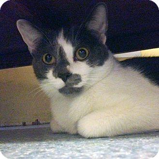 American Shorthair Cat for adoption in New York, New York - Francois