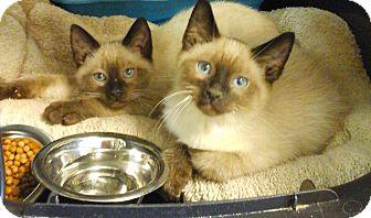 Siamese Kitten for adoption in Kansas city, Missouri - Si   Am