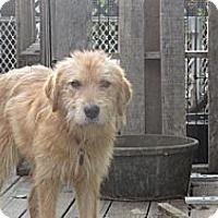 Adopt A Pet :: BUTTERCUP - CHICAGO, IL